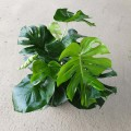 Monstera deliciosa (Medium)