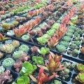 Assorted Succulents Type A (Wholesale)