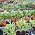 Assorted Succulents Type B (Wholesale)