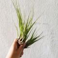 Airplant - Tillandsia melanocrater Tricolor