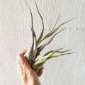 Airplant - Tillandsia caput Medusae