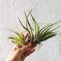 Airplant - Tillandsia brachycaulos Multiflora