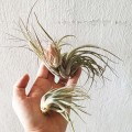 Airplant - Tillandsia 'Cotton Candy'