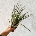 Airplant - Tillandsia Fasciculata Tricolor