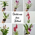 Indoor Foliage Plant - Orchids Mix from Holland