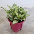 Fittonia green